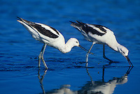506853093 a wild pair of american avocets recurvirostra americana forage in a shallow lagoon along the pacific coast in san diego county california
