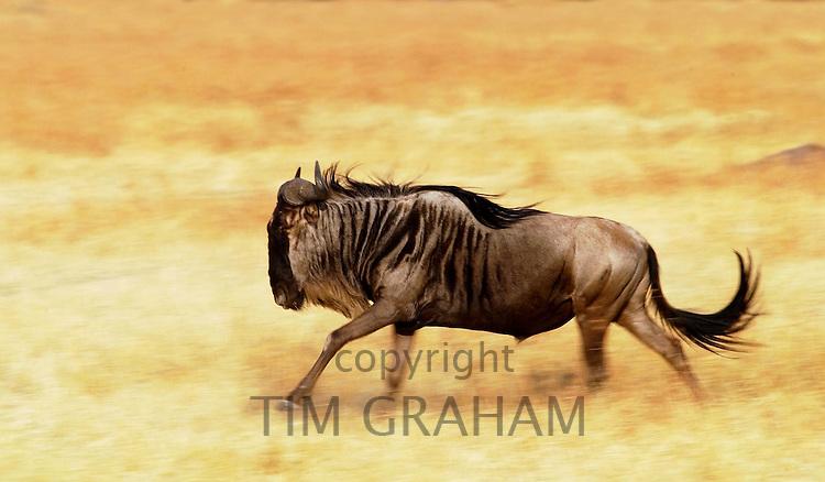 Blue Wildebeest running, Grumeti, Tanzania