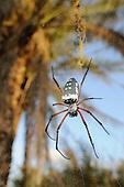 The Giant Spider (Nephila sumptuosa) in web, Socotra, Yemen.
