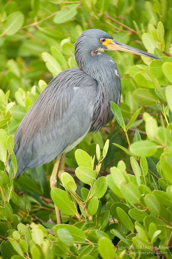 Ding Darling National Wildlife Refuge, Sanibel Island, Florida; a Tricolored heron (Egretta tricolor) bird stands on mangroves at the edge of the water, while fishing for food in the shallow water below © Matthew Meier Photography, matthewmeierphoto.com All Rights Reserved