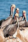 La Jolla Cove, La Jolla, California; several Brown Pelicans (Pelecanus occidentalis) with breeding plumage, standing on the cliffs overlooking the Pacific Ocean