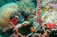 Invasive Lionfish on the reef<br />