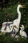Nesting Great Egret, Osceola County, Florida