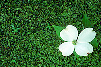 Dogwood flower lands intact on the mossy garden floor below