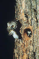 Northern Saw-whet Owl (Aegolius acadicus), adult bringing deer mouse to young, Colorado, USA