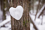 Heart made of snow on a cedar tree in a winter forest, romantic concept