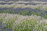 Lavendar field rows of white and purple flowers at festival time in Sequim