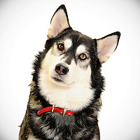 Beautiful Siberian Husky photo