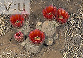 Cactus (Echinocereus dasyacanthus), Texas, USA.