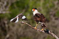 Crested Caracara with persistent  Mockingbird