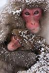 Japanese macaques, Nagano, Honshu Island, Japan