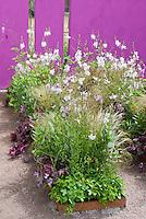 Gaura, heuchera, ornamental grass and other flowers and perennials in raised garden summer bed, vivid purple wall, sandy soil ground