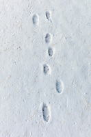 Animal footprints in the snow in frosty wintry landscape in The Cotswolds, Oxfordshire, UK