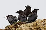A group of fledgling ravens perch on an overlook above Polychrome Pass after their first flight. Denali National Park, Alaska.
