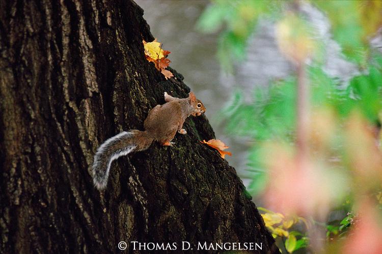 An autumn squirrel perches in a tree.