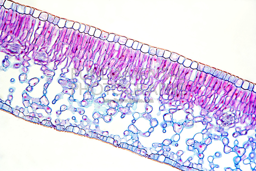 PLANT CELLS<br /> Dicot Leaf (LM) 40x mag<br /> Showing upper and lower epidermis layers, internal palisade and spongy layers, and stoma with guard cells.