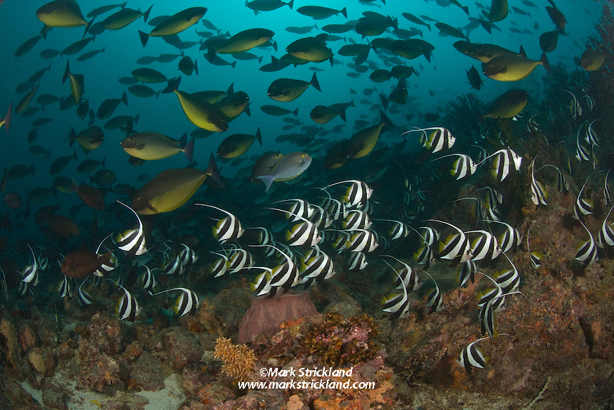 Dense schools of Blue-spine Unicornfish, Naso hexacanthus and Schooling Bannerfish, Heniochus diphreutes, gather on the up-current side of Fish Rock, which clearly lives up to its name. Andaman Islands; Andaman Sea; Bay of Bengal; Indian Ocean