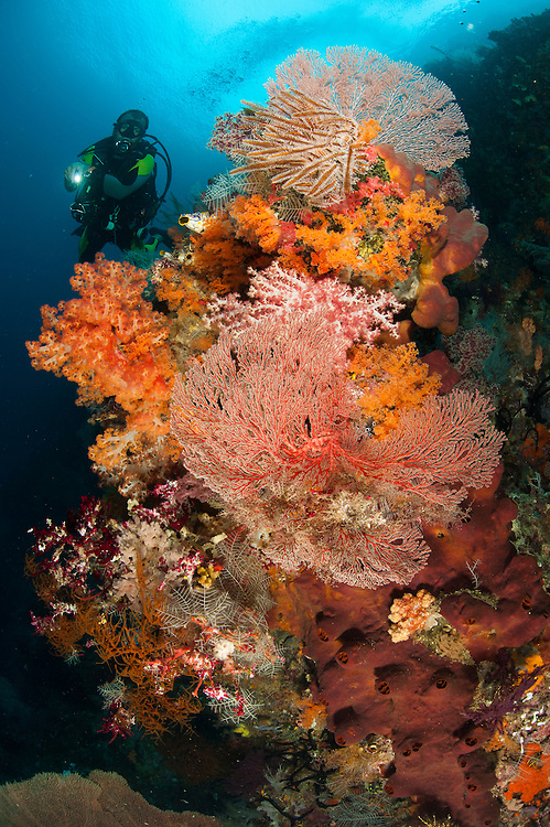 A diver approaches colourful soft corals (Dendronephthya sp.) and sea fans on the stunning reefs of southern Raja Ampat, West Papua, Indonesia