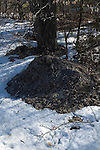 Snow melted from Compost pile heat action