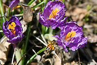 Honeybees on spring crocus. (Apis mellifera)