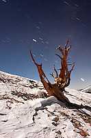 Bristlecone pine and snow illuminated by moon light with starry sky, Inyo National Forest, White Mountains, California, USA