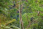 Mountain gorillas, Volcanoes National Park, Rwanda