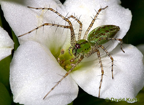 "0205-07mm  Green Lynx Spiderling  - Peucetia viridans  ""Eastern Variation"" - © David Kuhn/Dwight Kuhn Photography"