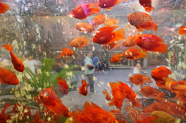 Fish in an aquarium decorating the window of a luxury restaurant in Hankou district.