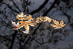 Autumn leaves float in a natural configuration on the cloud darkened lake; reflections from a leafless tree above