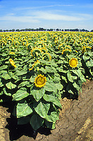 mature sunflower plants Williams California