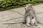 Monkey Forest, Ubud, Bali, Indonesia; a male crab-eating macaque (Macaca fascicularis) monkey sitting on a walking path through the sanctuary