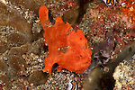 Orange painted frogfish (Antennarius pictus) on a sponge.