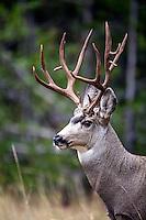 Non-typical mule deer buck portrait.