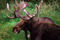 Bull Moose (Alces americana) resting in Grass, Northern British Columbia, Canada