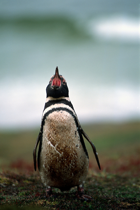 A magellanic penguin sounds out at a rookery on the Falkland Islands.