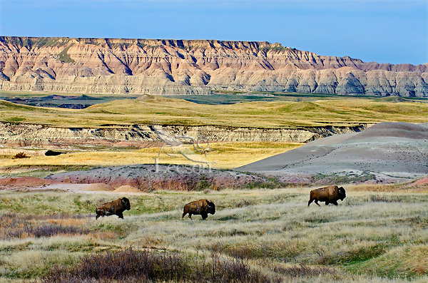 American Bison bulls (Bison bison) roaming the Sage Creek Wilderness ... Ungulate Habitat