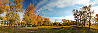 Autumn scenery of Xinjiang countryside woodland surrounded by tall trees in golden yellow setting.