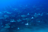 QT0004-D. Golden Cownose Rays (Rhinoptera steindachneri). Baja, Mexico, Sea of Cortez, Pacific Ocean.<br /> Photo Copyright &copy; Brandon Cole. All rights reserved worldwide.  www.brandoncole.com