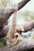 A White-Handed Gibbon with its baby. ,Hylobates lar,