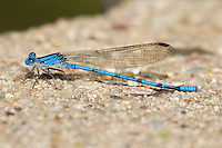 338650001 a wild male sierra madre dancer damselfly argia lacrimans perches on a concrete table in garden canyon fort huachuca cochise county arizona united states