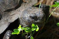 Gopher tortoise, Lemon Bay Park, Englewood, Florida