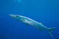 Great Barracuda (Sphyraena barracuda).Virgin Islands