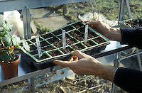 Starting plants from seeds, Lupines Lupinus tags in seed flat with starting mix in winter or early spring