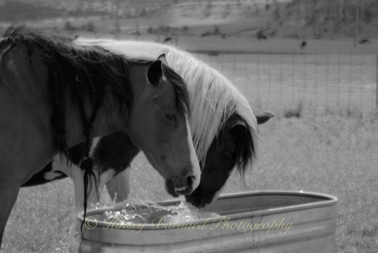 Choctaw mares splashing in the water trough at the Black Hills Wild Horse Sanctuary