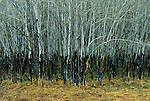 Uniform black sides up the trunks of aspen trees shows winter browse line by deer and various rodents in a wet meadow along a creek valley.  Wind Cave National Park, South Dakota.