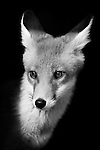 Black and white foxes