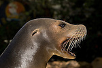 California Sea Lion, Zalophus californianus,female