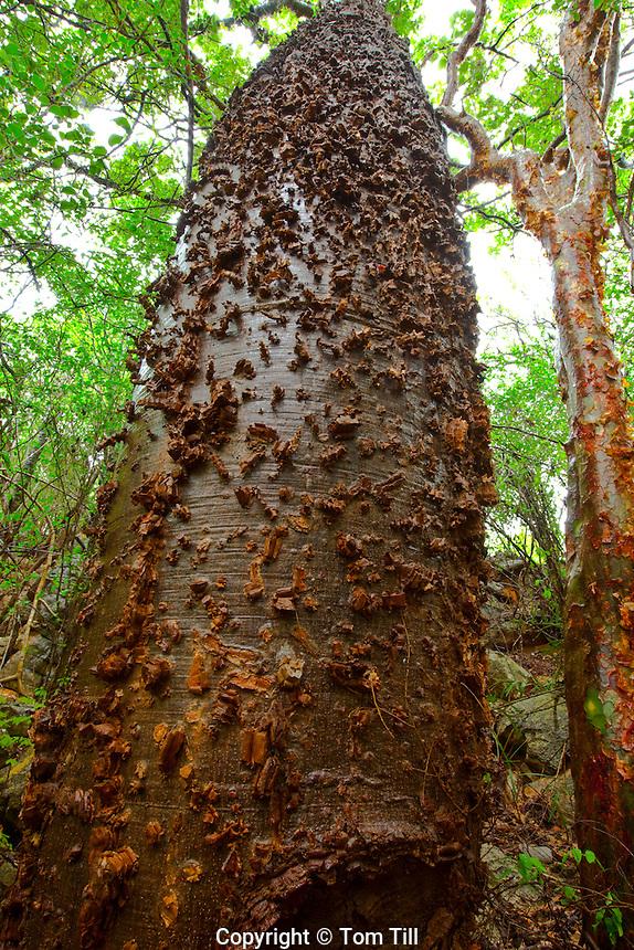 Belly tree  Diamantina National Park, Brazil  Paineira-rosa barriguda
