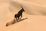 South African Oryx, Namibia