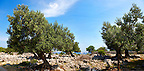 Lunjski Maslinici, Olive trees of Lun -  Pag  island,  Croatia